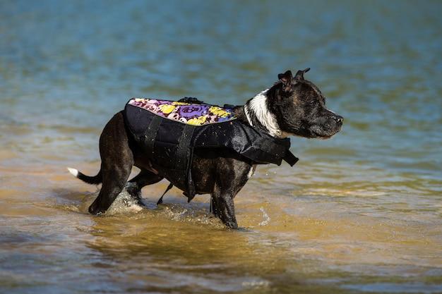 Immersione del bull terrier di staffordshire