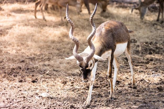 Impala con lunghe corna in piedi su terra secca