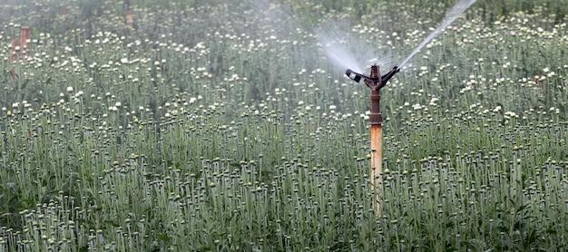 Impianto di irrigazione in piantagione di fiori per esportazione