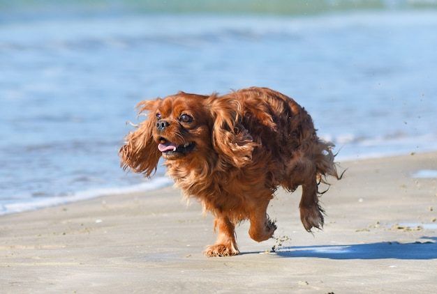 In esecuzione cavalier king charles