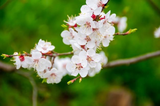 In primavera fioriscono nei giardini del giappone mela e ciliegia.