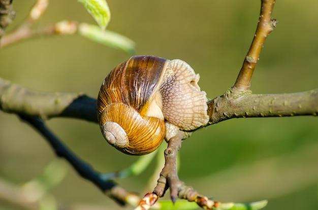 In una fattoria, le lumache strisciano lungo gli alberi da frutto.