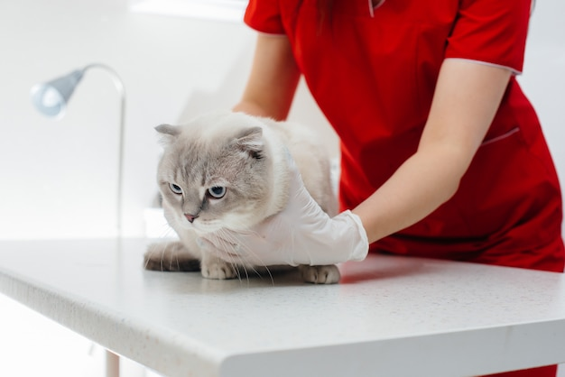 In una moderna clinica veterinaria, un gatto di razza viene esaminato e trattato sul tavolo. clinica veterinaria.