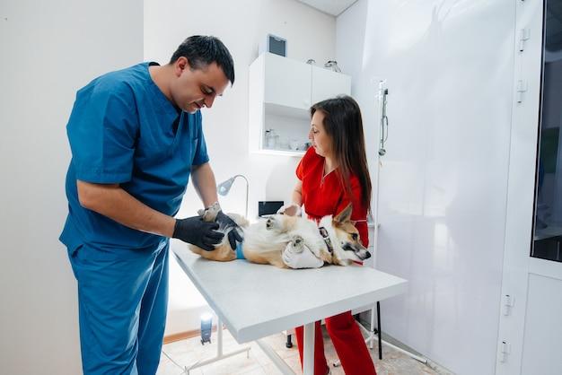 In una moderna clinica veterinaria viene esaminato un cane corgi di razza. clinica veterinaria.