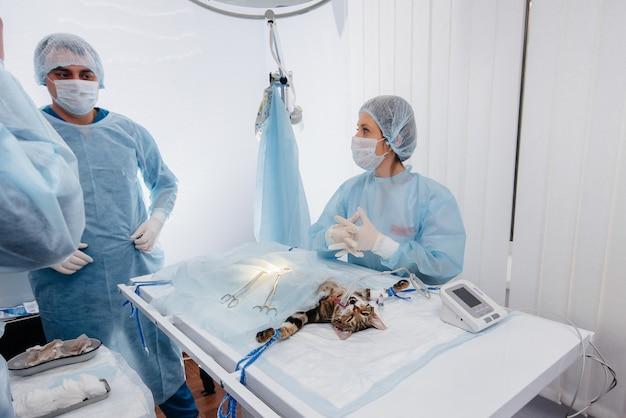In una moderna clinica veterinaria, viene eseguita un'operazione su un animale sul tavolo operatorio in primo piano. clinica veterinaria.