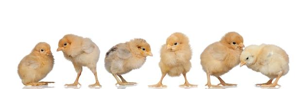 Incontro di polli gialli a pasqua