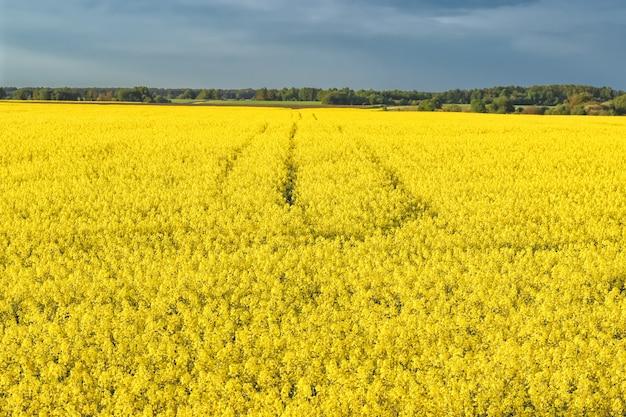 Incredibile paesaggio con un campo giallo di ravanello in una giornata di sole contro il cielo blu con nuvole.