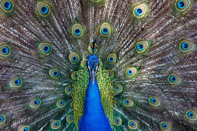 Incredibile pavone durante la sua esibizione