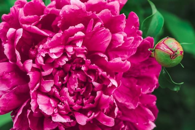 Incredibile peonia rosa. fioritura lussureggiante fiore magenta e giovane germoglio