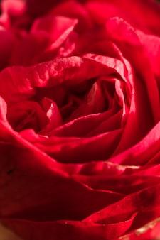 Incredibili petali rossi di fresca fioritura