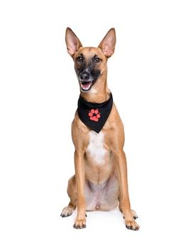 Incrocio sorridente o cane di razza mista in fazzoletto, 1 anno di età. ritratto di cane isolato