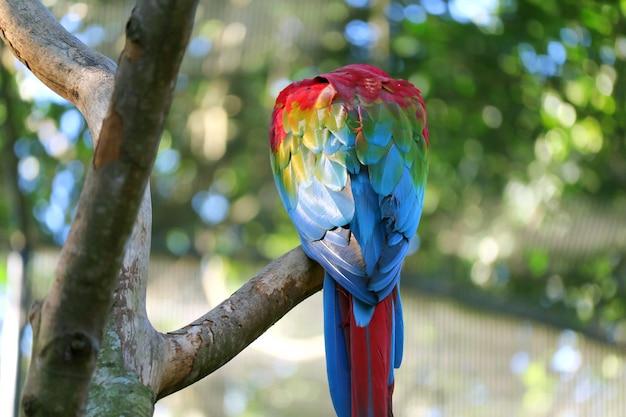 Indietro di un macaw scarlet appollaiato sull'albero, foz do iguacu, brasile, sud america