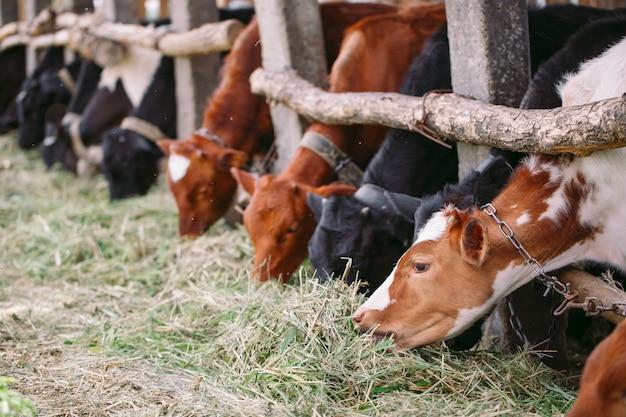 Industria agricola, agricoltura e zootecnia, mandria di mucche nella stalla in caseificio