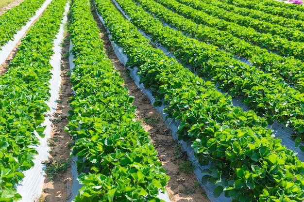 Industria dell'agricoltura della pianta di fragola in asia a nord della tailandia.
