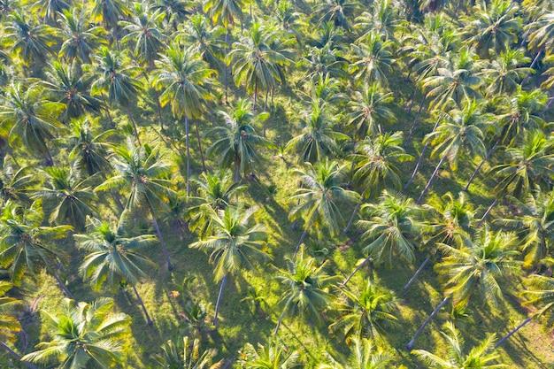 Industria di agricoltura del campo verde della piantagione della noce di cocco che coltiva in tailandia