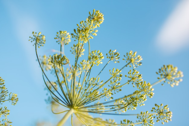 Infiorescenze di aneto contro il cielo blu. aneto in crescita nella piantagione di un contadino. aneto di fioritura del primo piano di estate