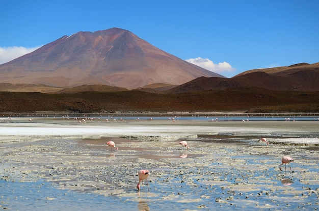 Innumerevoli fenicotteri rosa a laguna hedionda, il lago salino di potosi, in bolivia