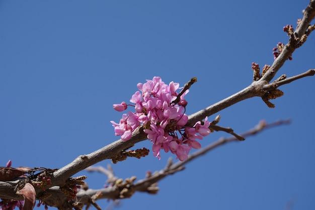 Inquadratura dal basso del primo piano di fiori rosa su un ramo di un albero sotto un cielo blu chiaro