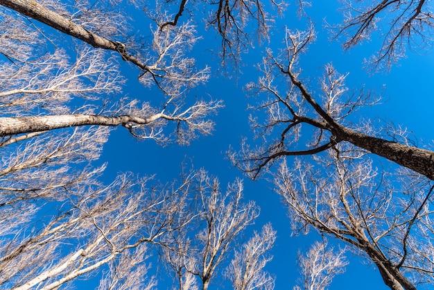 Inquadratura dal basso di audaci alberi ad alto fusto e un cielo blu chiaro