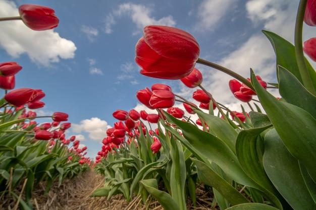 Inquadratura dal basso di tulipani rossi in un campo sotto la luce del sole e un cielo nuvoloso blu
