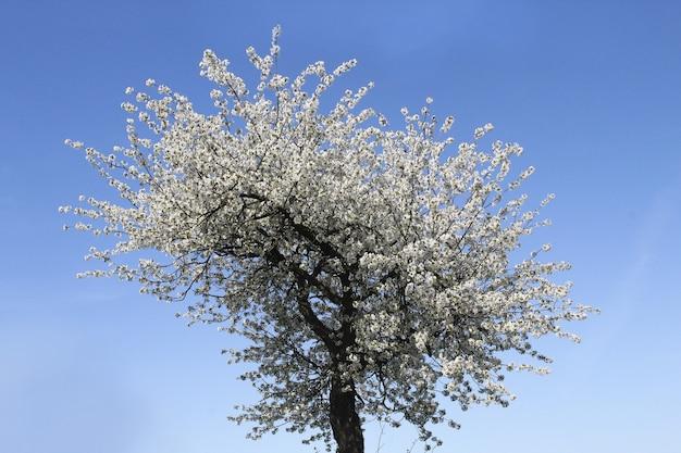 Inquadratura dal basso di un fiore di albicocca sotto la luce del sole e un cielo blu