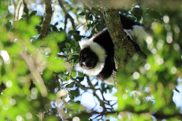 Inquadratura dal basso di un indri (una specie di primate) tra i rami di un albero