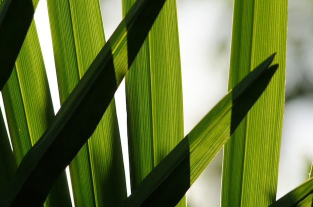 Inquadratura di una piccola palma serenoa repens che cresce all'ombra