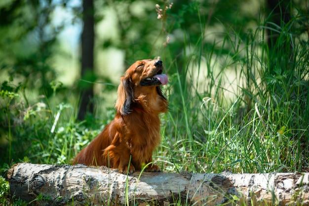 Insegua il bassotto tedesco della razza nella foresta in uno schiarimento soleggiato.