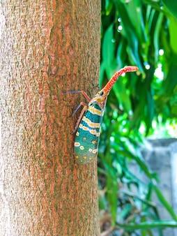 Insetto variopinto della cicala o della lanterna (pirops candelaria) dell'insetto sull'albero in natura.