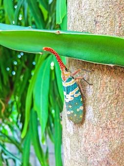 Insetto variopinto della cicala o insetto delle lanterne (pyrops candelaria) sull'albero in frutta del giardino e della natura