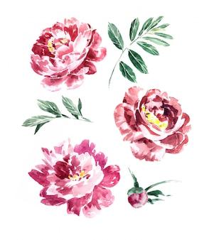 Insieme dipinto a mano delle clipart delle peonie e della pianta di marsala dell'acquerello isolato. disegno di fiori bordeaux.
