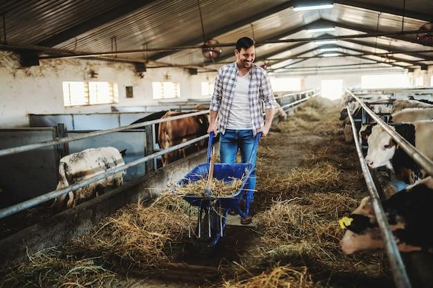 Integrale del bel contadino caucasico in jeans e camicia a quadri spingendo la carriola con fieno e guardando i vitelli. interno stabile.