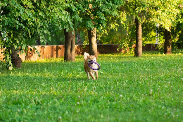 Inu rosso di shiba del cane di japanease che funziona sull'erba