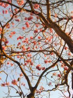 Ipe albero rosa
