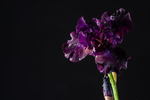 Iride viola su sfondo nero