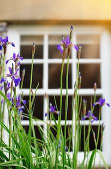 Iris viola che fioriscono nel giardino di fronte alle finestre della casa al giorno soleggiato