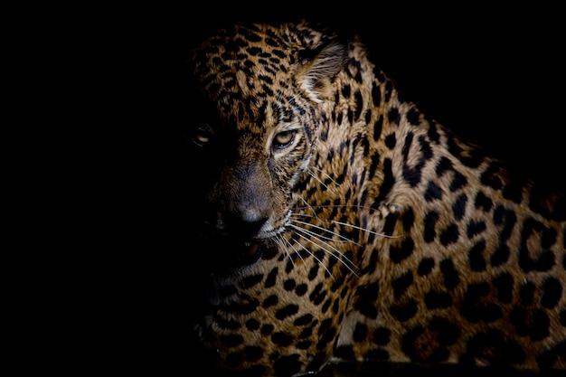 Isolato del ritratto del leopardo su fondo nero