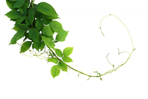 Isolato della pianta dell'edera su bianco