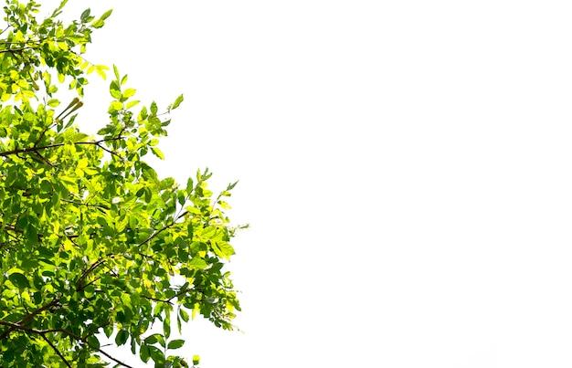 Isolato di bella filiale di albero con il foglio variopinto su priorità bassa bianca.