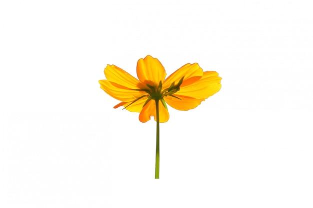 Isolato giallo del fiore su bianco.