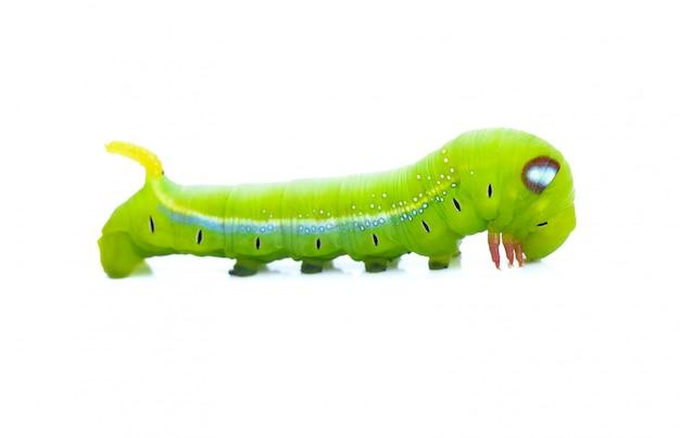 Isolato verde degli animali dei trattori a cingoli del worm su bianco
