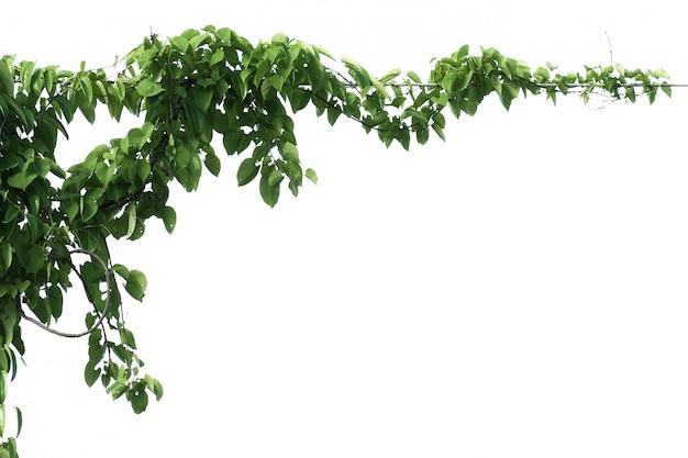 Isolato verde della pianta dell'edera del foglio su bianco
