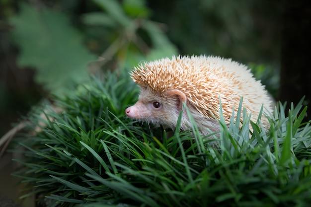 Istrice europeo nell'habitat naturale del giardino con erba verde.