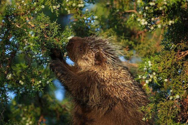 Istrice nell'albero di ginepro in arizona