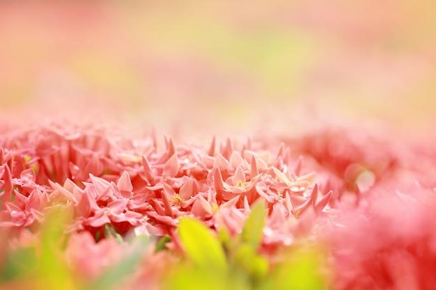 Ixora coccinea, un genere di piante da fiore della famiglia delle rubiaceae, punta di fiore rosso, messa a fuoco selettiva e tonalità di colore.