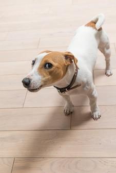 Jack russell terrier a casa