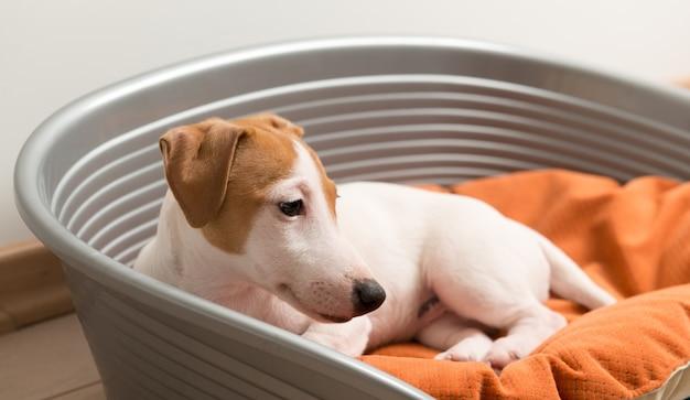 Jack russell terrier che si trova sul cane letto