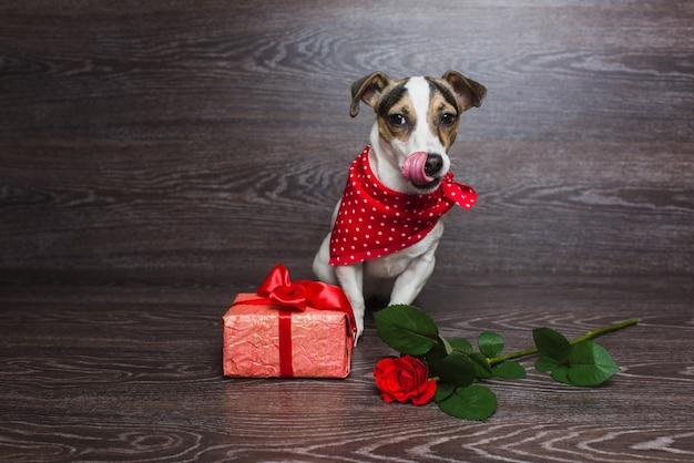Jack russell terrier con confezione regalo festiva.