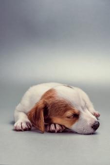 Jack russell terrier cucciolo dorme