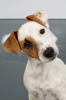 Jack russell terrier davanti a sfondo grigio